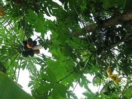 On a hike through the rain forest our guide pointed out the coconuts. - August 2009