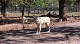 Check out all the wildlife at the Bearizona Drive-thru park! - March 2012
