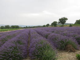 One of 2 or 3 lavender fields we stopped for photos. Nice but not of postcard-quality , TRAN LAN ANH N - July 2012