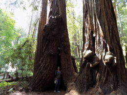 Standing inside one of the many giant trees in Muir Woods. , Joseph B - May 2016
