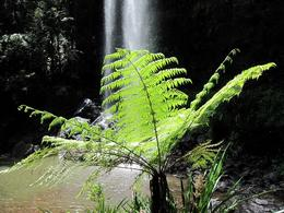 Photo of Brisbane Springbrook National Park Discovery Full-Day Bushwalk including Glow Worm Tour Typical rainforest tree