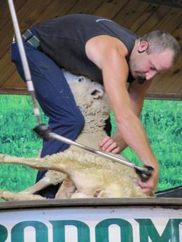 Sheep shearing demonstration. - May 2010