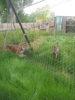 Great new tiger enclosure!, sarahm - June 2013