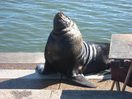 Huge sea lion asking the local fisherman for food!, Bandit - August 2012