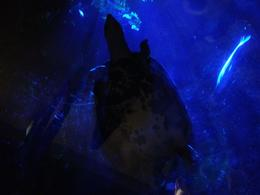 A turtle swam above us in the tunnel!, Cat - December 2013