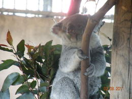 What a treat to see Koalas at this great world renowned zoo. , Fred B - February 2011