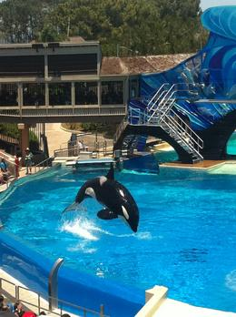 Jumping killer whales!, JennyC - June 2011