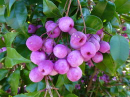 Some Bush Fruit that is Edible (only when ripe) , John K - September 2014