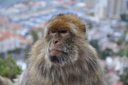 Barbary Apes of the Rock of Gibraltar with Gibraltar view of city below , kands - November 2012