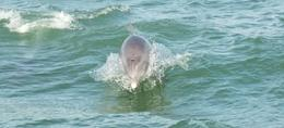 Dolphins come close to the boat , Ray P - January 2013