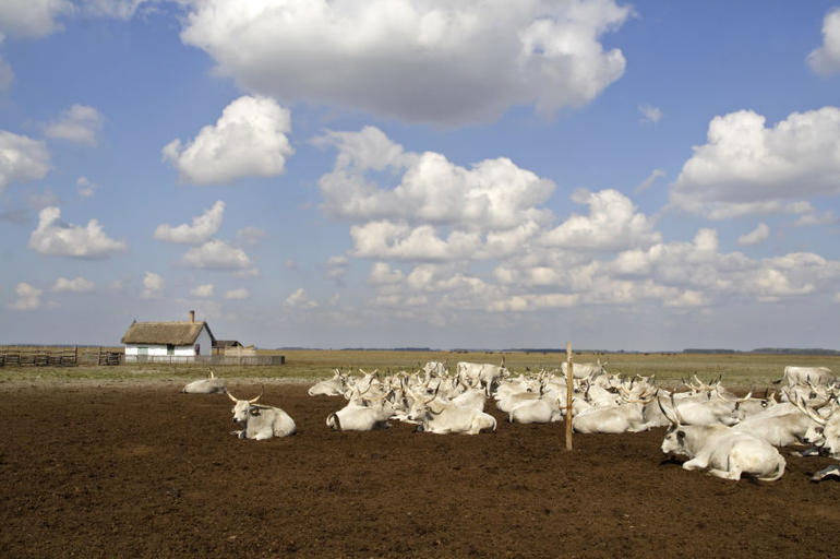 Hungarian Puszta with famous grey cattle