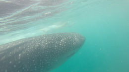 Photo of   Whale shark sighting