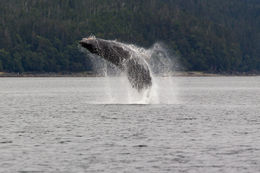 Humpback Whale fully breaching. They did this several times during our outing , Michael L - September 2015