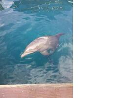 Photo of Puerto Plata Ocean World Dolphin Swim Dolphin 1