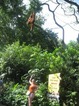 Photo of Singapore Singapore Zoo Morning Tour with optional Jungle Breakfast amongst Orangutans Here's looking at you!