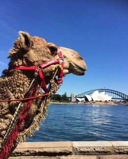 A camel from the upcoming Aida performance from March-April 2015 near the opera stage! - December 2014