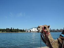 Photo of Sydney Opera Performance on Sydney Harbour Camels on the Sydney Harbour