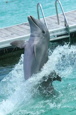 Photo of Punta Cana Half-Day Dolphin Island Tour from Punta Cana dolphin2