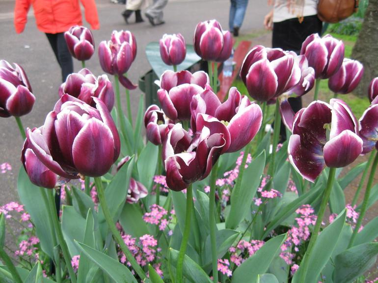 Purple and White Tulips - Amsterdam