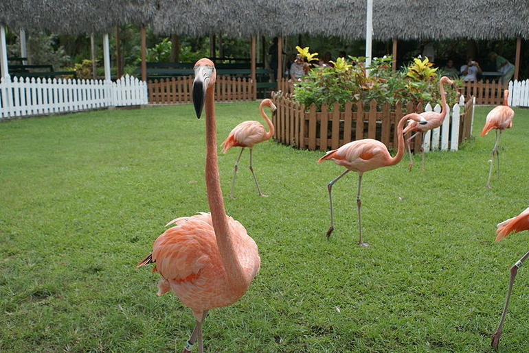 A group of flamingoes walking - Nassau