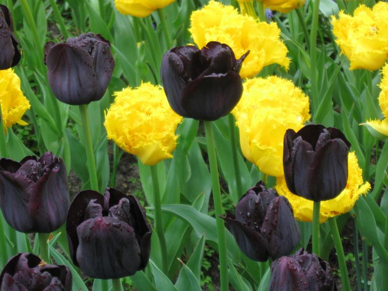 Black and Yellow Tulips - Amsterdam