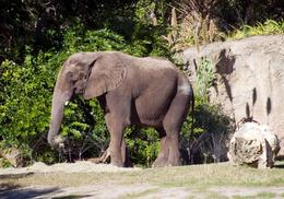 Elephant - Disney's Animal Kingdom - December 2009