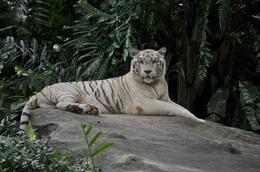 Photo of Singapore Singapore Zoo Breakfast with Orangutans The beautiful white tiger