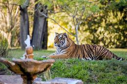 Photo of   Tiger - Disney's Animal Kingdom