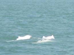 Photo of Hong Kong Hong Kong Pink Dolphin Watching Cruise More of the dolphin pod.