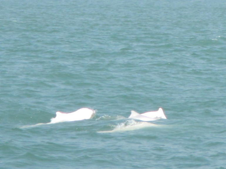 More of the dolphin pod. - Hong Kong