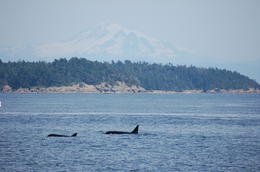 Photo of Victoria Whale-Watching Cruise from Victoria and Butchart Gardens Admission Orca pod