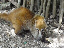 Pisot, the village pet. We forgothow Mexicans call this cute animal, but we found it as and quot;coati, and quot; basically some sort of raccoon. , Otilia M - June 2014