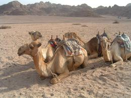 These were our camels on camel safari. We had just got off to walk up a great big hill to see the sea, unfortunately the guide got the wrong hill but the view was fantastic anyway. P.S. getting down ...  - April 2008