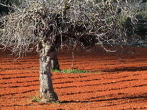 Olive groves in Ibiza