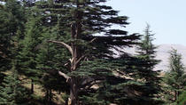The Cedars of Lebanon