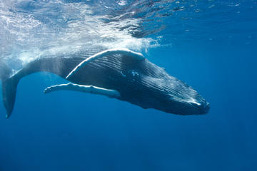 Whale Watching Tours in Turks and Caicos