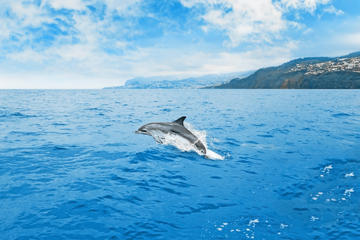 Dolphin and Whale Watching in Madeira