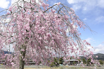 Cherry Blossom Season in Osaka