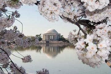 Cherry Blossom Festival: Tips from a Local
