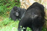 5 days gorillas and chimpanzee tracking