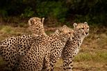 Ann Van Dyk Cheetah Centre Half-Day Tour from Johannesburg