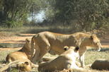 Half-Day Lion Park Safari from Johannesburg