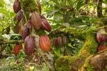 Private Group Tour of the Dominican Cacao Route