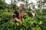 Araksa Tea Garden Experience with Transfer