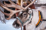 EXCURSION TO A REINDEERS FARM WITH SHORT SELF-DRIVING