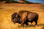 TWO DAY FALL TOUR SPECIAL - Buffalo Roundup and Northern Hills Change of Colors