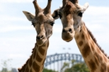 Sydney Taronga Zoo General Entry Ticket