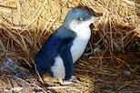 Phillip Island Little Penguins Parade Evening Tour