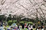 Half Day Cherry Blossom Viewing and Nagoya Castle Tour