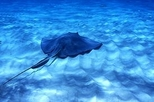 Grand Cayman Stingray Sandbar and Reef, Cayman Islands, Scuba & Snorkelling